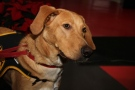 Rave, a Labrador/Retriever mix available at the Windsor Essex Humane Society in Windsor, Ont., Dec. 5, 2012. (Melanie Borrelli / CTV Windsor)