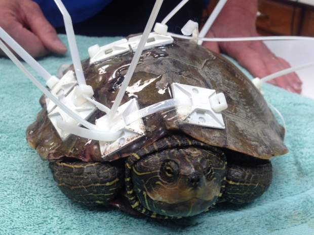 A map turtle is recovering after it was run over by a car and its shell cracked. (Sacha Long / CTV Windsor)
