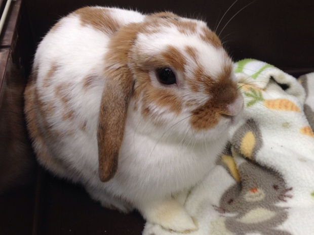 Tiny Paws Small Animal Recue is asking for help find homes for several rabbits in Windsor, Ont., July 6, 2015. (Sacha Long / CTV Windsor)