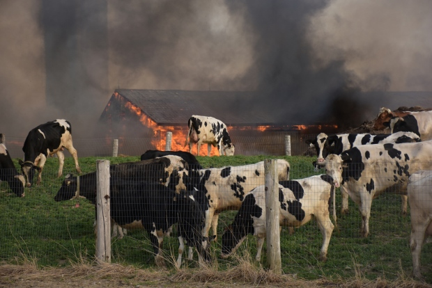 Over 100 cows perish after massive fire at Jobin Farms in Tecumseh, Ont., on Monday, April 18, 2016. (Courtesy Kati Panasiuk)