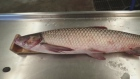 A fish in the Asian Carp family was caught by a commercial fisherman in Lake Erie in August, 2016.