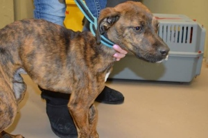 Reno, an underweight boxer-mix puppy, was turned over the Windsor/Essex County Humane Society in January of 2015. (photo courtesy: Windsor/Essex County Humane Society)
