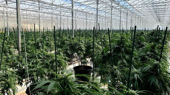Chatham marijuana plants